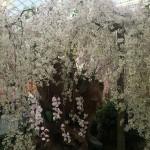 桜 蘭 ガーデンズバイザベイ