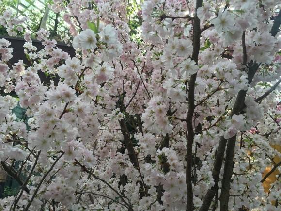満開の桜 ガーデンズバイザベイ